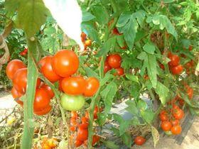 Выращивание помидор на балконе