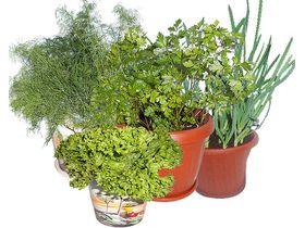 Советы по выращиванию зелени на балконе